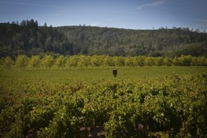Best vineyards in Napa - St. Helena, CA