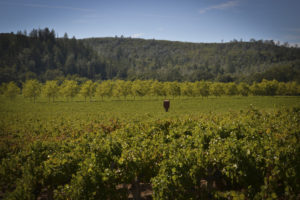 Best vineyards in Napa - St. Helena CA